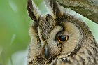 Long-eared Owll