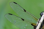 Wing from a Four-spotted Chaser