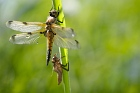 Four-spotted Chaser with Exuviae